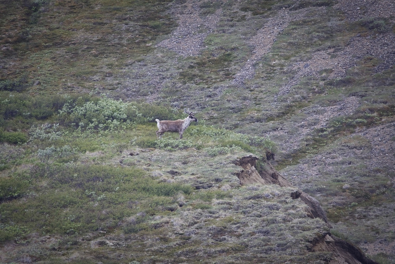 Caribou confused about where his trail went after mountainside slid into valley - see next image