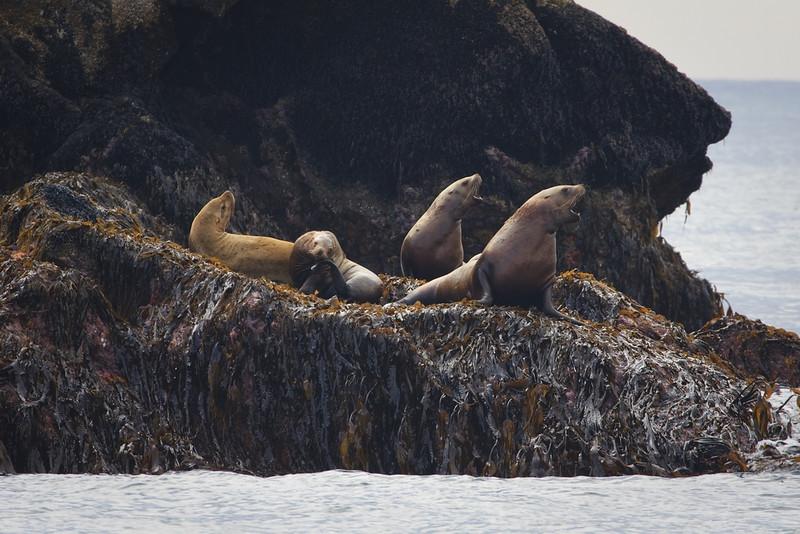 Seals at Kenai Fjord