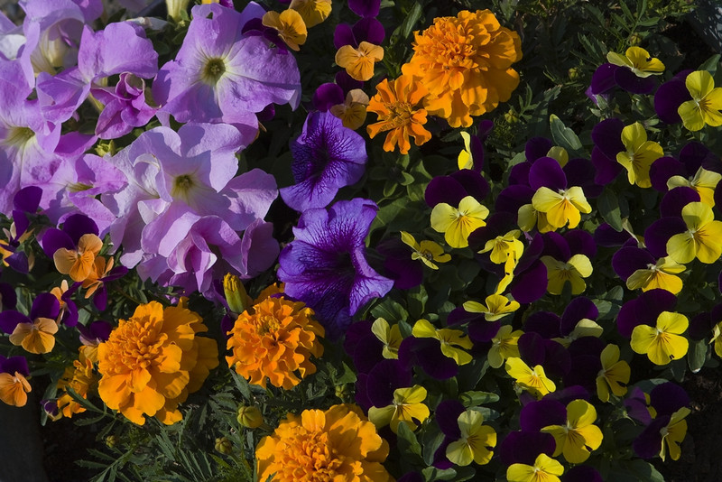 Three months of 24 hour daylight in Fairbanks produces extremely large and vibrant flowers