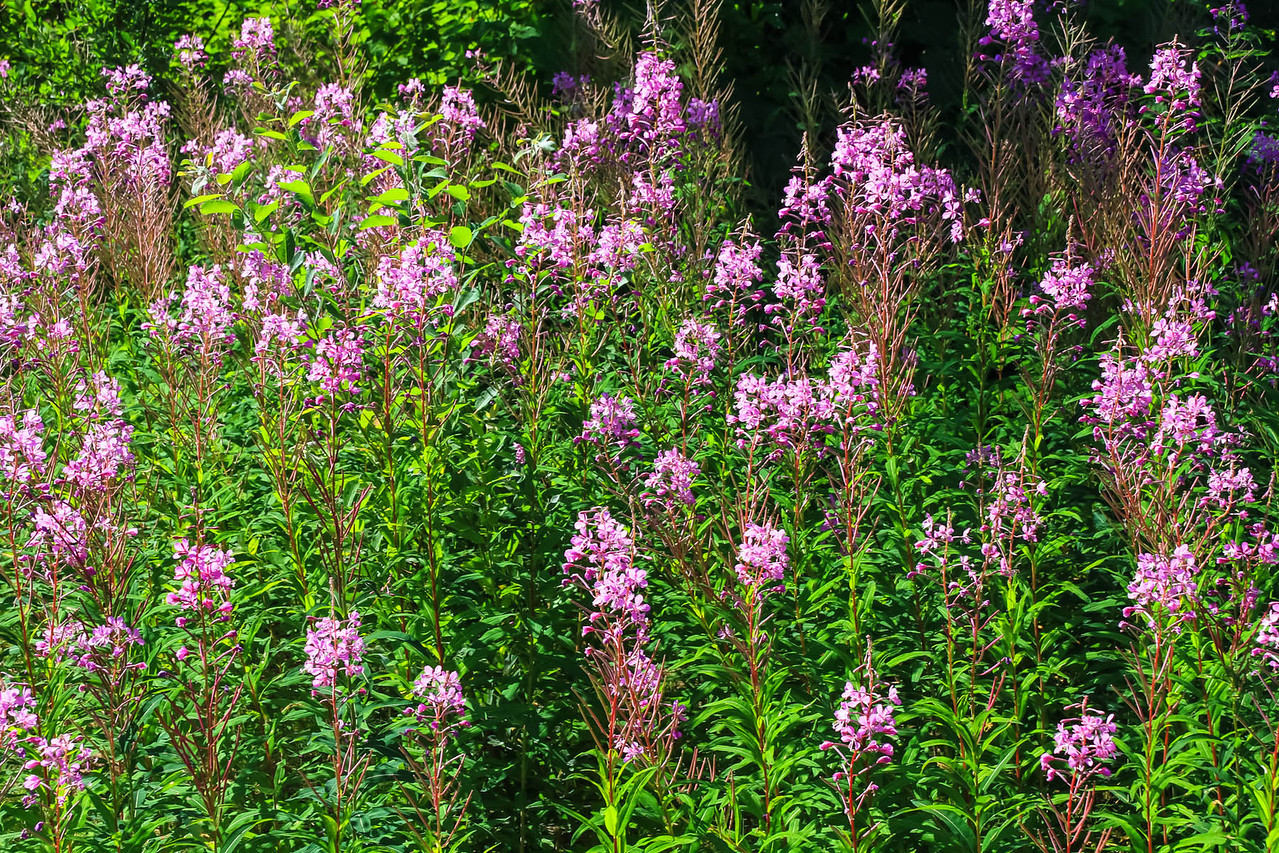 Fireweed - Mt. McKinley Princess Wilderness Lodge