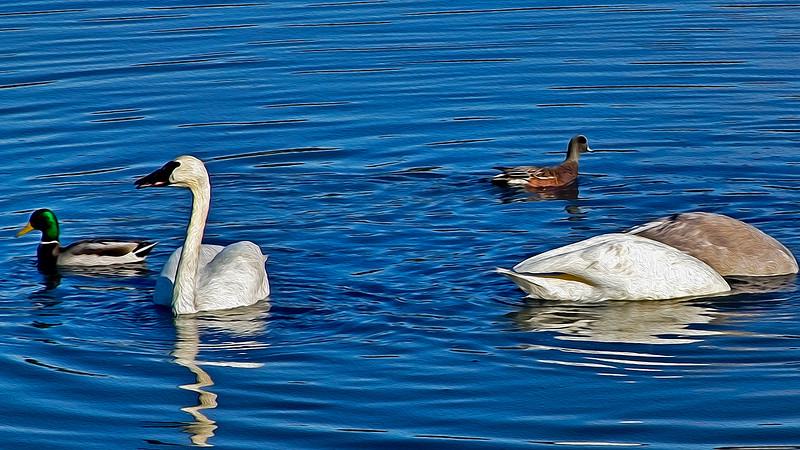 Mallard Ducks and Trumpeter Swans (Cygnus buccinator) Potter Marsh Alaska (Oil Painting Effect)