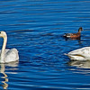 Mallard Ducks and Trumpeter Swans (Cygnus buccinator) Potter Marsh Alaska (Oil Painting Effect)