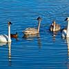 Mallard Ducks and Cygnus buccinator or Trumpeter Swans Potter Marsh Alaska (Oil Painting Effect)
