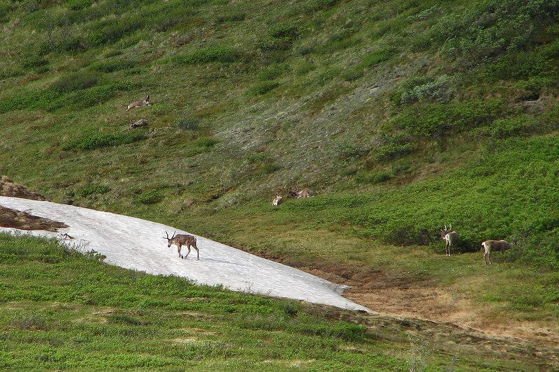 Caribou? Need a longer lens. :(