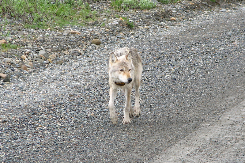 A wolf saunters by the stopped bus...