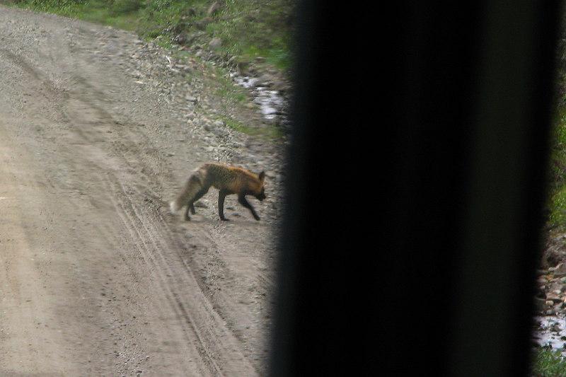 A shy fox.