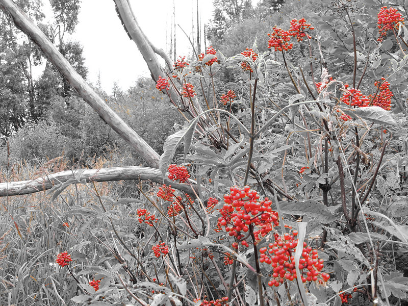 Played with the camera settings to accent the red berries