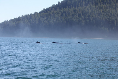 Three whales near Glacier Bay National Park Alaska.