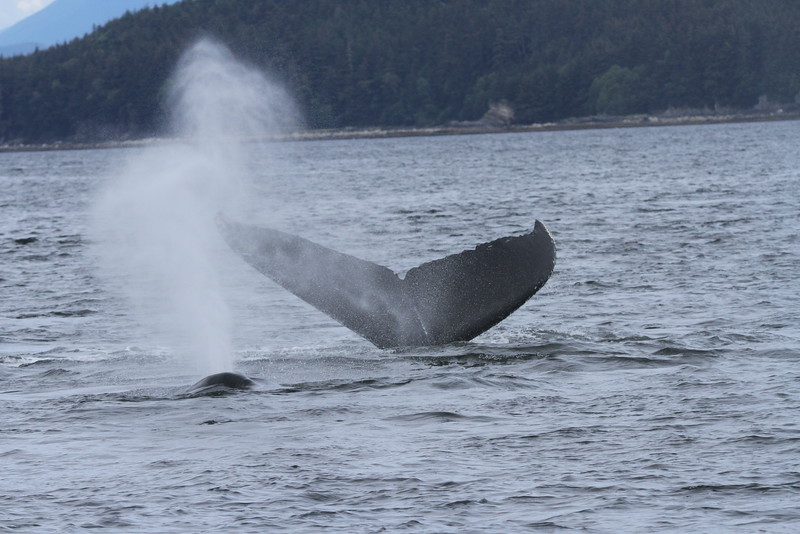 Whales in inside passage, Alaska
