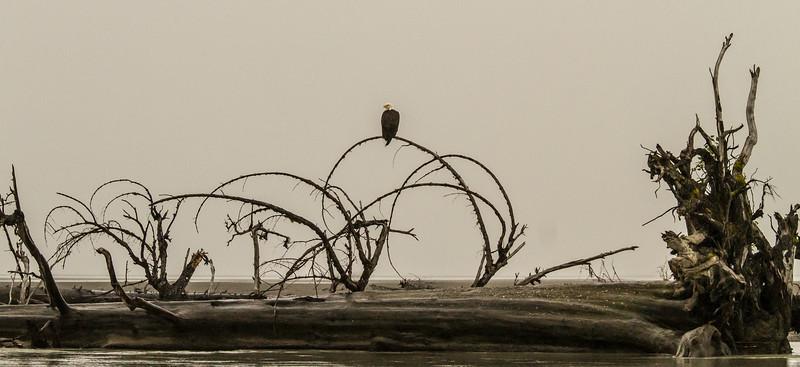 Lone eagle on the Stikine River