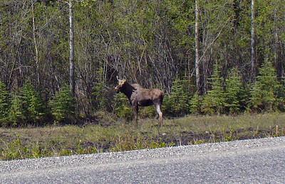 This is a young moose. Probably just abandoned by his mother after she had the next newborn. Still big as a small horse. Has a lot of growing to do.