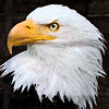 Bald Eagle Graphic