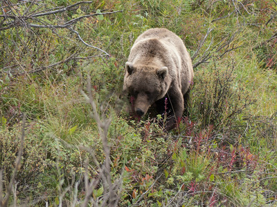 Lumbering Grizzly Bear