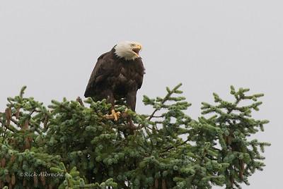 08-VH4850 Eagle