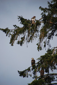 Three juvinile bald eagles in a tree adjacent to their nest.