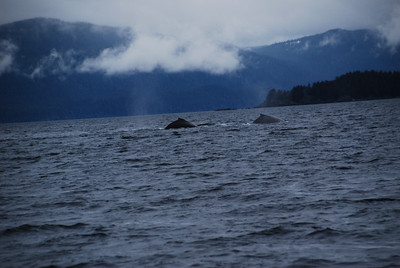 This is either two humpback whales, or the Lock Ness Monster.