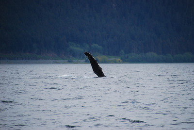 Humpback whale gives a high...one.