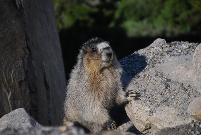 A marmot poses for photos.