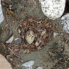 An arctic tern's nest and egg