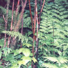 Ferns - Sitka National Historical Park - Sitka, Alaska<br /> Alaska Inside Passage Cruise - Seward, Alaska to Vancouver, Canada - Holland America Cruise Lines  - May 17-24, 1998