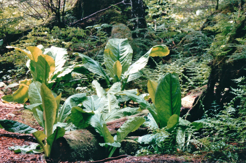 """Skunk Cabbage - Mountain Lake Canoe Adventure - Ketchikan, Alaska - The plant is called Skunk Cabbage because of the distinctive """"skunky"""" odor that it emits. This odor will permeate the area where the plant grows, and can be detected even in old, dried specimens. The distinctive odor attracts its pollinators, scavenging flies and beetles. <br /> Alaska Inside Passage Cruise - Seward, Alaska to Vancouver, Canada - Holland America Cruise Lines  - May 17-24, 1998"""