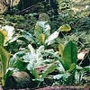 "Skunk Cabbage - Mountain Lake Canoe Adventure - Ketchikan, Alaska - The plant is called Skunk Cabbage because of the distinctive ""skunky"" odor that it emits. This odor will permeate the area where the plant grows, and can be detected even in old, dried specimens. The distinctive odor attracts its pollinators, scavenging flies and beetles. <br /> Alaska Inside Passage Cruise - Seward, Alaska to Vancouver, Canada - Holland America Cruise Lines  - May 17-24, 1998"