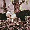Bald Eagle Couple and Baby - Postcard -  Some eagles do not breed every year. Bald eagles are capable of breeding annually from the age of four, but some of the adults, though paired, seem to choose not to breed. It might be an instinctive decision, based on the weather; availability of nesting sites, or food. Because an eagle lives up to 30 years in the wild, it has many years in which to produce offspring.<br /> Alaska Inside Passage Cruise - Seward, Alaska to Vancouver, Canada - Holland America Cruise Lines  - May 17-24, 1998