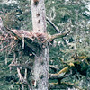 Eagle Nest - Sea Otter and Wildlife Quest - Sitka, Alaska - The shape of the eagle nest or aerie is determined mainly by the branch point where it's built. Sticks placed in tree forks result in cylindrical or conical shaped nests. Disk shaped nests are built on the ground or a tree branch which is nearly level. Bowl shaped nests occur where the tree trunk branches off into smaller upright branches. Inverted cone shaped nest.<br /> Alaska Inside Passage Cruise - Seward, Alaska to Vancouver, Canada - Holland America Cruise Lines  - May 17-24, 1998