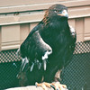 Golden Eagle - Alaska Raptor Rehab Center - Sitka, Alaska<br /> Alaska Inside Passage Cruise - Seward, Alaska to Vancouver, Canada - Holland America Cruise Lines  - May 17-24, 1998