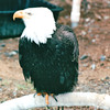 Non-releaseable Birds Are Kept For Education - Alaska Raptor Rehab Center - Sitka, Alaska<br /> Alaska Inside Passage Cruise - Seward, Alaska to Vancouver, Canada - Holland America Cruise Lines  - May 17-24, 1998