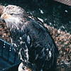 Immature Bald Eagle - Alaska Raptor Rehab Center - Sitka, Alaska<br /> Alaska Inside Passage Cruise - Seward, Alaska to Vancouver, Canada - Holland America Cruise Lines  - May 17-24, 1998