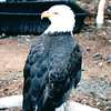 Eagle - Alaska Raptor Rehab Center - Sitka, Alaska<br /> Alaska Inside Passage Cruise - Seward, Alaska to Vancouver, Canada - Holland America Cruise Lines  - May 17-24, 1998