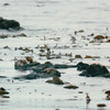 Sea Otters in Kelp Beds - Sea Otter and Wildlife Quest - Sitka, Alaska - The heaviest member of the weasel family, the sea otter is also the second smallest marine mammal. <br /> Alaska Inside Passage Cruise - Seward, Alaska to Vancouver, Canada - Holland America Cruise Lines  - May 17-24, 1998