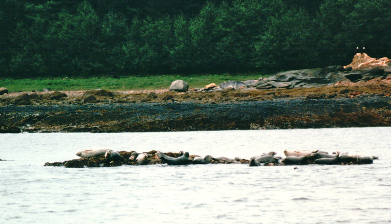 Seals - Destination Wildlife Cruise - Juneau, Alaska <br /> Alaska Inside Passage Cruise - Seward, Alaska to Vancouver, Canada - Holland America Cruise Lines  - May 17-24, 1998