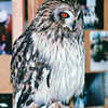 Short-eared Owl - Alaska Raptor Rehab Center - Sitka, Alaska<br /> Alaska Inside Passage Cruise - Seward, Alaska to Vancouver, Canada - Holland America Cruise Lines  - May 17-24, 1998
