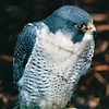 Peregrine Falcon - Alaska Raptor Rehab Center - Sitka, Alaska<br /> Alaska Inside Passage Cruise - Seward, Alaska to Vancouver, Canada - Holland America Cruise Lines  - May 17-24, 1998