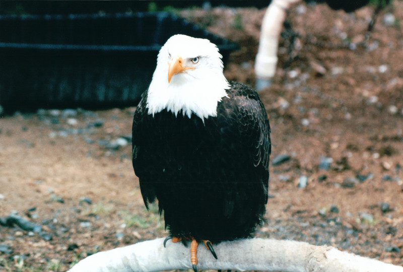 One of the Greeters When We Arrived - Alaska Raptor Rehab Center - Sitka, Alaska<br /> Alaska Inside Passage Cruise - Seward, Alaska to Vancouver, Canada - Holland America Cruise Lines  - May 17-24, 1998