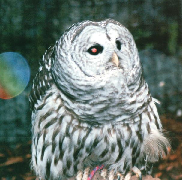 Barred Owl - Alaska Raptor Rehab Center - Sitka, Alaska<br /> Alaska Inside Passage Cruise - Seward, Alaska to Vancouver, Canada - Holland America Cruise Lines  - May 17-24, 1998