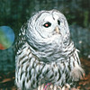 Barred Owl - Alaska Raptor Rehab Center - Sitka, Alaska<br /> Alaska Inside Passage Cruise - Seward, Alaska to Vancouver, Canada - Holland America Cruise Lines  - May 17-24, 1998