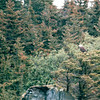 Eagle in Tree - Sea Otter and Wildlife Quest - Sitka, Alaska<br /> Alaska Inside Passage Cruise - Seward, Alaska to Vancouver, Canada - Holland America Cruise Lines  - May 17-24, 1998