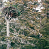 Another Eagle Nest - They Build Up to 13 Feet Deep and 8 Feet Wide and Can Weigh Up to Two Tons, Being Added to Year After Year - Sea Otter and Wildlife Quest - Alaska Inside Passage Cruise - Seward, Alaska to Vancouver, Canada - Holland America Cruise Lines  - May 17-24, 1998
