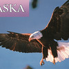 "Bald Eagle - Postcard - At one time, the word ""bald"" meant ""white,"" not hairless. Bald eagles are found throughout most of North America, from Alaska and Canada to northern Mexico. About half of the world's 70,000 bald eagles live in Alaska. <br /> Alaska Inside Passage Cruise - Seward, Alaska to Vancouver, Canada - Holland America Cruise Lines  - May 17-24, 1998"