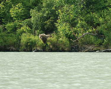 Brown Bear View from fishing boat enroute to Wolverine Creek