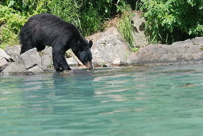 Black Bear hoping to catch a salmon