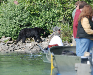 Black Bear not happy with humans fishing for salmon