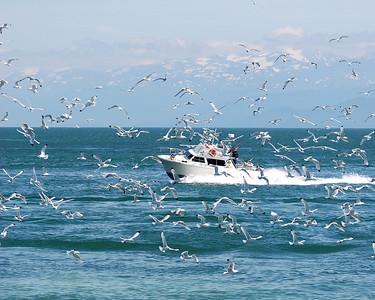 Gulls off Homer Spit