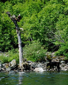 Nowhere but Alaska!  Eagle and Bear in same frame