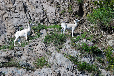 Dall Sheep  Outside of Anchorage