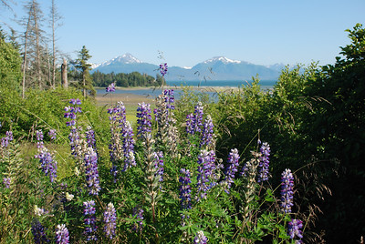 Lupines outside of Homer