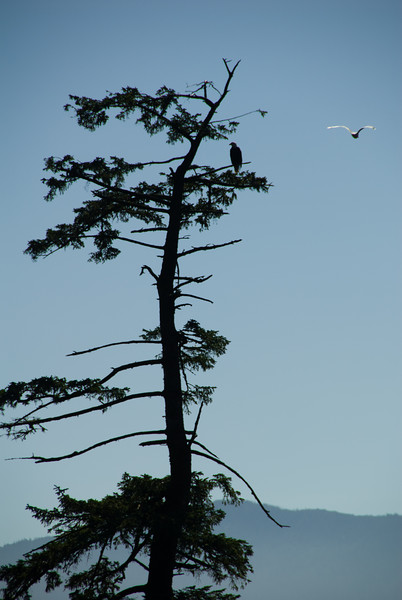 That's a bald eagle sitting in the tree, as a seagull floats by.